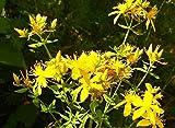 100 echtes Johanniskraut Samen, Hypericum perforatum, Common St. Johns wort, mehrj.