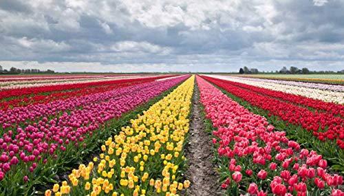 SemiRosa 20/50/100 PZ Semi di Tulipano Sementi di Fiori Tulipani profumati Multi Colori Decorativi da Piantare in Bonsai Vasetto Balcone Giardino Casa
