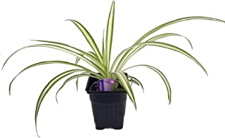 Ocean Spider Plant - 2 Plants - Easy to Grow - Cleans The Air - New - 3