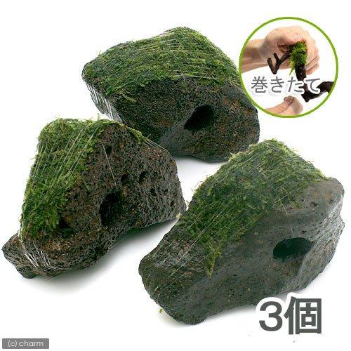 (水草)巻きたて ジャイアント南米ウィローモス 穴あき溶岩石(無農薬)(3個) 北海道航空便要保温