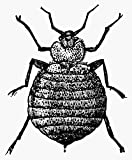 Bedbug. /Nthe Bedbug (Cimex Lectularius). Wood Engraving, C1900. Poster Print by (24 x 36)