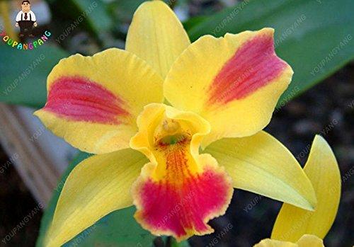 100pcs 20 types d'orchidées Graines vivaces Fleurs Plantes ornementales en pot Bansai Semences pour balcon et cour plante Diy jardin Violet