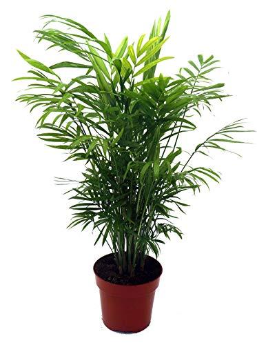 Bergpalme, (Chamaedorea elegans), Zimmerpalme, Zimmerpflanze (ca. 45cm hoch, im ca. 12cm Topf)