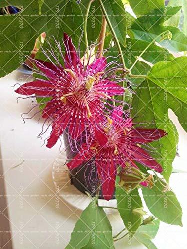 Shopmeeko 10 STÜCKE Blaue Passionsblume (Passiflora incarnata) Passionsfrucht Bonsai Tropische Blume Zimmerpflanzen Für Hausgarten: 9