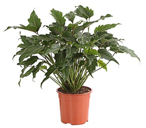 Dehner Baumfreund Philodendron Xanadu, buschiger Wuchs, ca. 60-70 cm, Ø Topf 21 cm, Zimmerpflanze