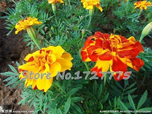 Chrysanthemum s Staude Blüte Rose Pink Marigold s Lange voller wahre Daisy s 200 Partikel/Beutel Sementes: Rot