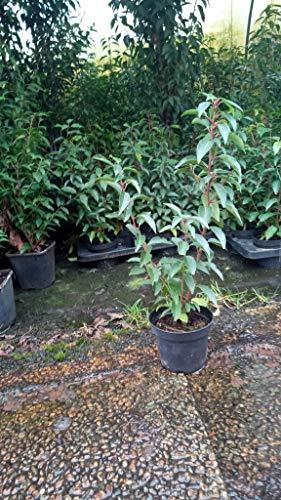 Portugiesische Lorbeerkirsche Prunus...