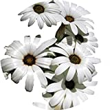 Semi di fiori di raso, semi di eterocarpa, aiuola, balcone, pianta in vaso 300 capsule