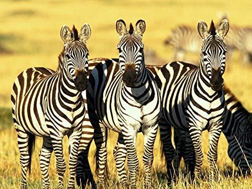 XIAOZHANG Diamond Painting Bilder Voller Runder Bohrer Zebra-Herde Stickerei Painting Für Anfänger Wanddekoration 30X40Cm