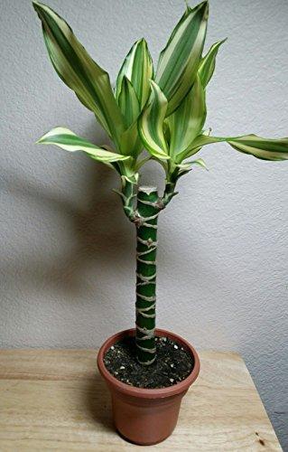 Creme & Green Corn Plant - Dracaena - 6' Pot - Easy to Grow House Plant