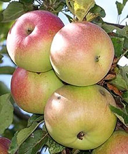 GETSO Bio McIntosh Apfel 5 Samen Allzweckapfelfrucht hat rote und grüne Haut