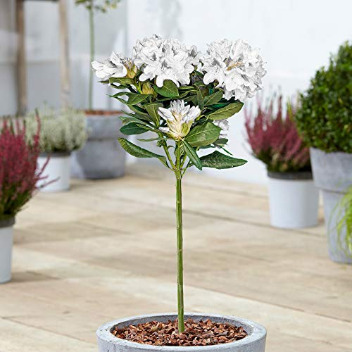 Rhododendron Tree | Ornamental Potted Trees for Small Gardens | Lollipop Standard Stem | Various Colours | Patio Plant | 1.5-2.5ft (White)