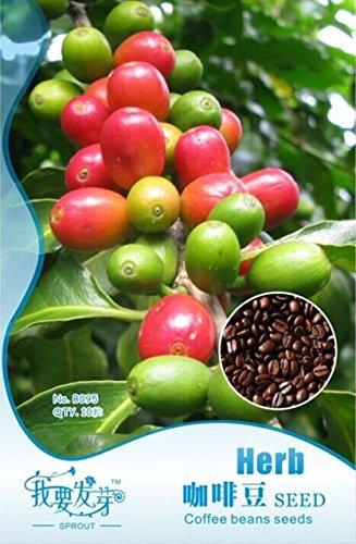 Grosses soldes!!! 10 Packs originaux, 10 graines/paquet, Graines de café, ARABICA des plantes (Coffea arabica) Catura GRAINES