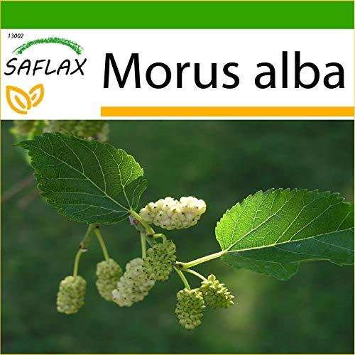 SAFLAX - Mûrier blanc - 200 graines - Avec substrat - Morus alba