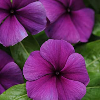 467301819 Outsidepride Jams 'N Jellies Blueberry Vinca Flower Seed - 50 Seeds