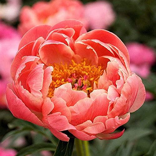 3 Pezzi Di Bulbi Di Peonia Rizoma Popolare Fiore Rosa Una Vista Indispensabile Del Giardino Estivo Perenne Aromatica