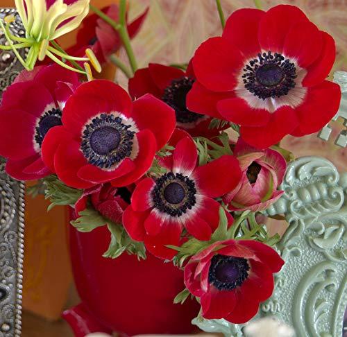 Blumenzwiebeln für Frühlings-, Sommer- und Herbstblüher (10, Anemonen Coronaria Hollandia - (Rot))