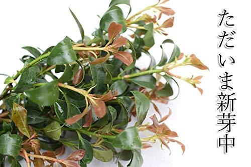 しきみ 樒 生花 切り花 お供え用 シキミ 根付き 墓花 墓参り 仏前草 香木