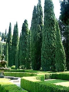 1 Pack of 100 Seeds Italian Cypress Tree, Cupressus Sempervirens, Mediterranean Cypress, Tuscan Cypress, Graveyard Cypress