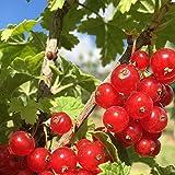 カシスの苗木 品種:レッドカラント(赤房スグリ)【品種で選べる果樹苗木 2年生 挿木苗 12cmポット 平均樹高:40cm/1個】(ポット植えなのでほぼ年中植付け可能)カシスの赤実です。 別名を赤房スグリと呼ばれるポリフェノール(抗酸化物質)が豊富に含まれており注目されています。 果実はさわやかな酸味と渋みがあり 香りが良くリキュールやデザートに利用されています。 見た目も美しいので 切り花などにも利用されています。 市場で生のものはほとんどありませんので 家庭菜園ならではの醍醐味を是非味わってください。【自社農場から新鮮苗直送 】【即出荷】