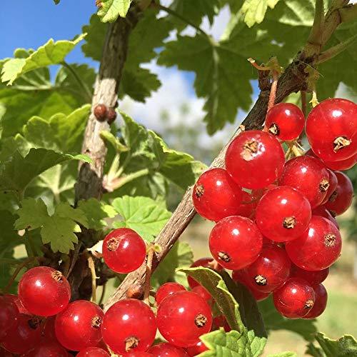 カシスの苗木 品種:レッドカラント(赤房スグリ)【品種で選べる果樹苗木 2年生 挿木苗 12cmポット 平均樹高:40cm/1個】(ポット植えなのでほぼ年中植付け可能)カシスの赤実です。 別名を赤房スグリと呼ばれるポリフェノール(抗酸化物質)が豊富に含まれており注目されています。 果実はさわやかな酸味と渋みがあり、香りが良くリキュールやデザートに利用されています。 見た目も美しいので、切り花などにも利用されています。 市場で生のものはほとんどありませんので、家庭菜園ならではの醍醐味を是非味わってください。【自社農場から新鮮苗直送!!】【即出荷】