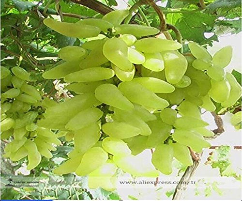 100% Vrai or Finger vert Sweet Seeds raisin Bio, Professional Pack, 15 graines / Pack, Hardy Plante Délicieux Fruit E3088