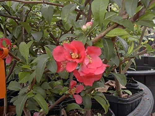 FERRY Bio-Saatgut Nicht nur Pflanzen: Quitte Chaenomeles Reding Ältere Kalter Hardy Chaenomeles