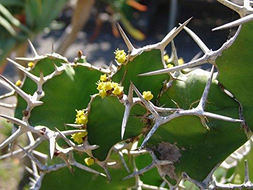 5 Seeds - Euphorbia Grandicornis succulent cactus Plant Seeds~Not Euphorbia Obesa or agave