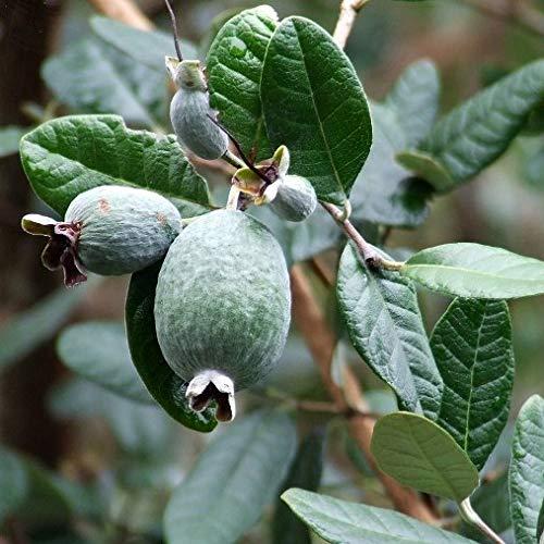 Feijoa sellowiana (Acca sellowiana – Guayabo del Brasile) [Vaso Ø18cm]