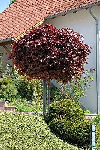 Acer platanoides Crimson Sentry Blut-Ahorn rotlaubig auf Stamm verschiedene Größen (Stammhöhe 125 cm)