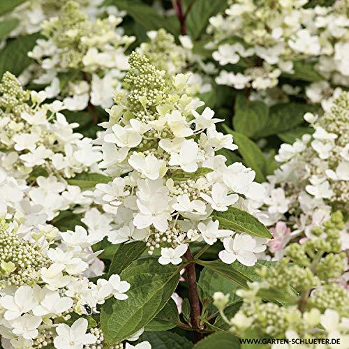 Rispenhortensie Magical Fire weiß-rosa-dunkelrosa - Hortensie winterhart & mehrjährig - Hydrangea paniculata - 1 Pflanze von Garten Schlüter - Pflanzen in Top Qualität