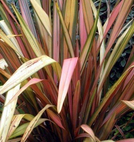 Frais Nouvelle-Zélande Lin New Hybrids 10 graines graminée
