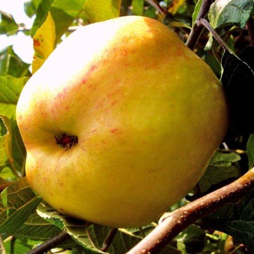 Apfelbäumchen Dülmener Rosenapfel, Busch
