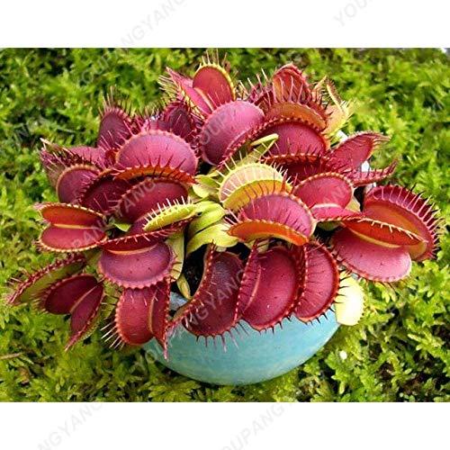 Elitely 50 Stücke Garten Topf Samen Fliegenfalle Dionaea Muscipula Riesen Clip Venusfliegenfalle Samen Fleischfressende Samen Bonsa: Lila