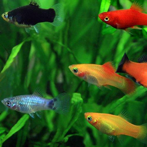 (熱帯魚)ミックスプラティー (約2-3cm)<4匹>[生体]