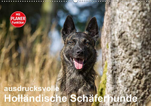 ausdrucksvolle Holländische Schäferhunde (Wandkalender 2021 DIN A2 quer)