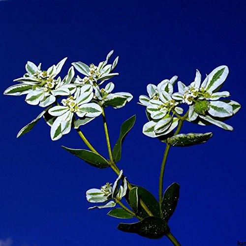 Nouvelle arrivée Euphorbia Marginata Graines vivace Plante en pot Fleurs chinois Seeds 50 particules / lot