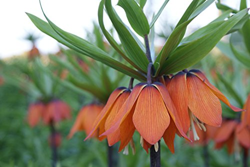 5 x Kaiserkronen Knollen Orangerot Fritillaria Imperialis Größe L 16+ cm Umfang