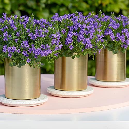 Campanula poscharskyana | Campanule violette | Plante couvre-sol fleurie | Hauteur 25-30cm | Pot Ø10,5cm