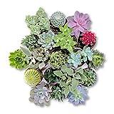 Cactus y Suculentas Plantas Variadas Naturales Pack de Plantas Crasas y Cactus Variados (5)