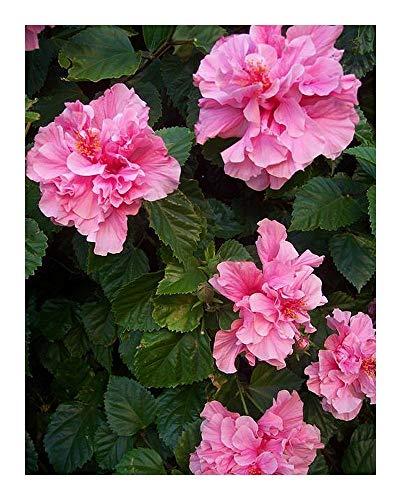 Hibiscus mutabilis - Rose Confédérée - 10 graines
