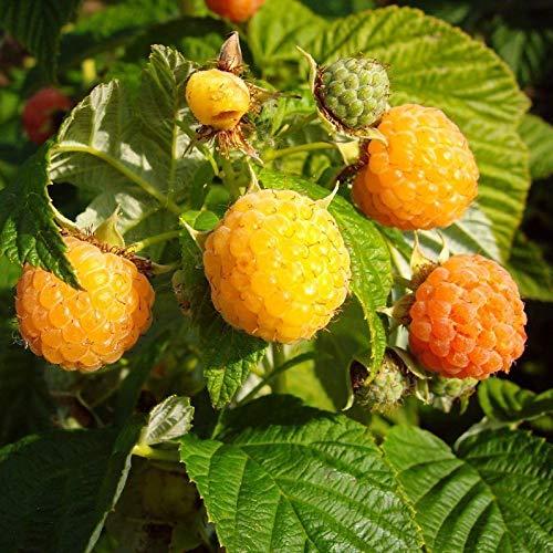 3er Set Himbeerpflanze Fallgold späte Sommer Herbst Himbeere gelb Besonderheit im 2 L Topf
