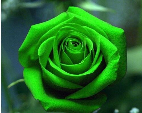 100pcs graines Rose, graines exotiques rares chinoise Rose Graines de fleurs pour les plantes de jardin à la maison, 24 couleurs 6