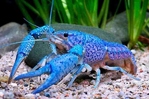 Live Crayfish Live Lobster Live Electric Blue Lighting Crayfish Lobster Crawdad