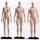ZHANGYY Figura de anatomía Humana - Modelo de anatomía musculoesquelética Femenina y Masculina - Mod...