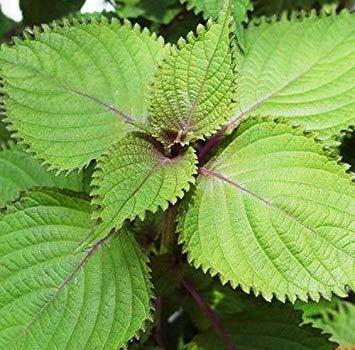 PLAT FIRM: Crisped Perilla Seed 30 Samen Zweifarben Perilla tic D023