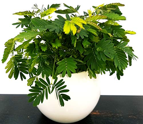MIMOSA SENSITIVA, MIMOSA PUDICA VASO CERAMICA, echte Pflanze