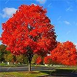 sanhoc 10 pz piante quercia rossa americana bonsai quercus albero perenne woody cortile decorazione per l'impianto di giardino di casa, facile piantare