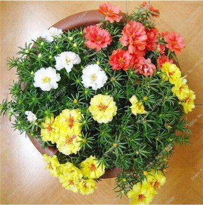 Coloré Portulaca semences, rose moussue Graine pourpier Double Flower Heat Tolerant, facile Semer des graines de fleurs d'extérieur 100 pièces/lot 8