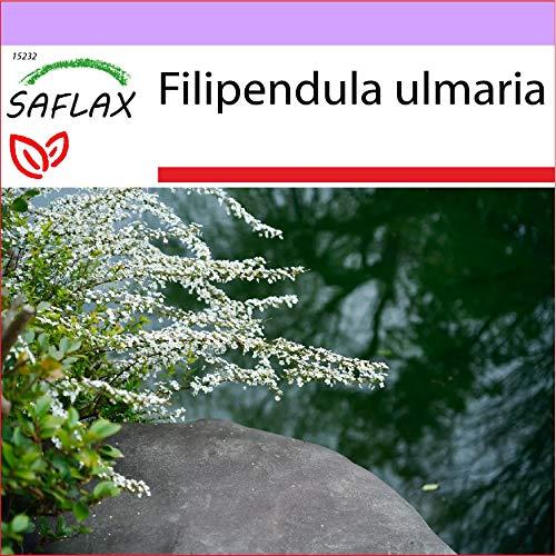 SAFLAX - Heilpflanzen - Echtes Mädesüß - 500 Samen - Filipendula ulmaria